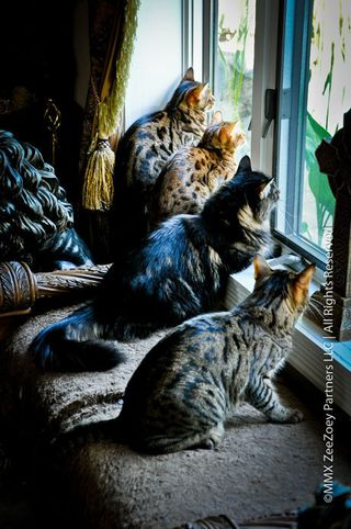 Cats-in-window